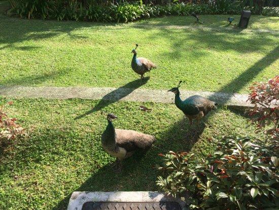 Amara Sanctuary Resort Sentosa: 酒店的孔雀