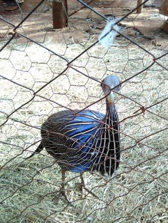 Nairobi Education Centre - Animal Orphanage: 很漂亮的鸡