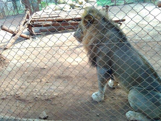 Nairobi Education Centre - Animal Orphanage: 可怕的狮子