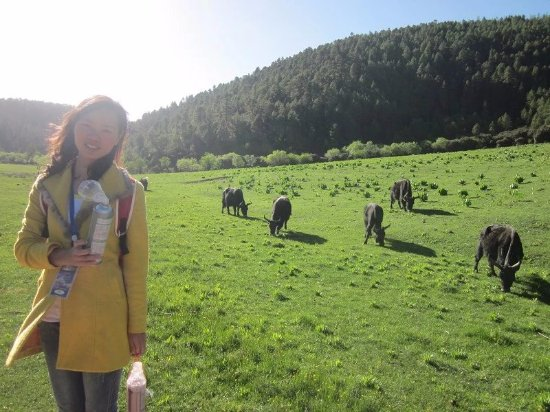 Kreis Shangri-La, China: 牦牛在草地里悠闲的吃着草,与世无争