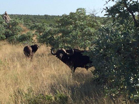 Parque Nacional de Kruger, África do Sul: 非洲野牛