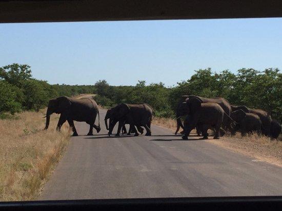 Parque Nacional de Kruger, África do Sul: 大象群过马路