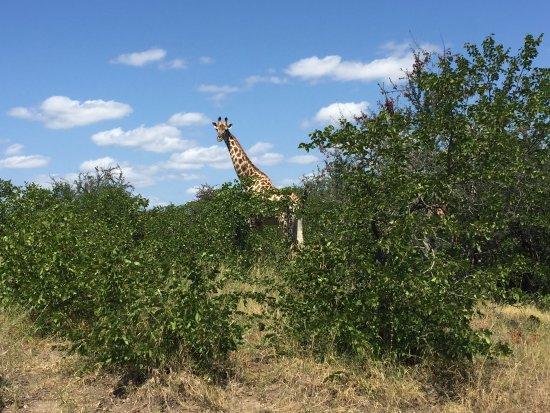 Parque Nacional de Kruger, África do Sul: 长颈鹿