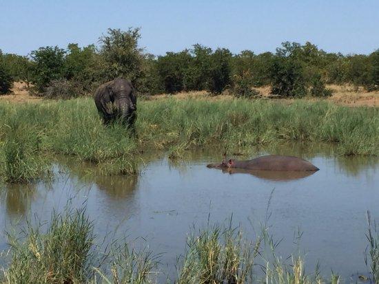 Parque Nacional de Kruger, África do Sul: 打完架的大象,前面河马乱入
