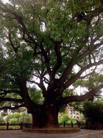 Wuyuan County, Chine : 千年樟树