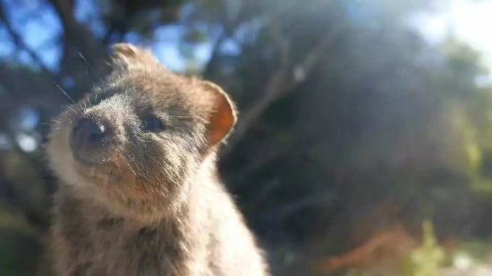 Роттнест, Австралия: 若有所思幸福满满的样子