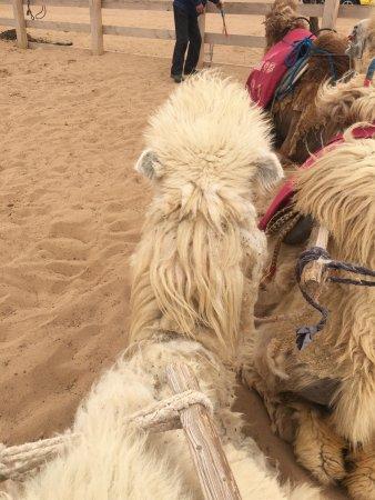 Zhongwei, الصين: 萌萌的骆驼