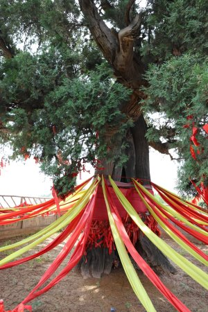 Ruicheng County, Cina: 大树的年轮不知几多?