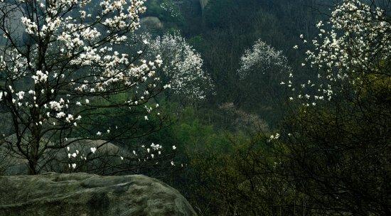 Anqing, China: 山中白玉兰