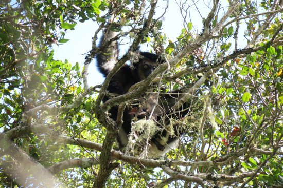 Saha Forest Camp: Indri,have a very small baby,maybe one month,baby can't easy find it