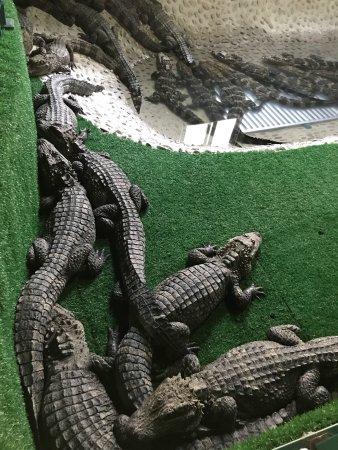 Xuancheng, China: 冬季鳄鱼冬眠模式中,走进冬眠房,一屋子的鳄鱼,给人一种进入侏罗纪公园的感觉。