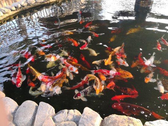 Pico Rivera, CA: 水中活宝石—一池锦鲤