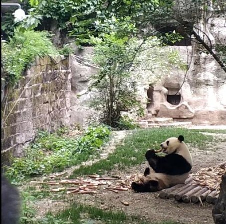 Giant Panda Breeding Research Base (Xiongmao Jidi): 吃竹子