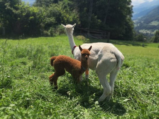 Alpacas of Switzerland