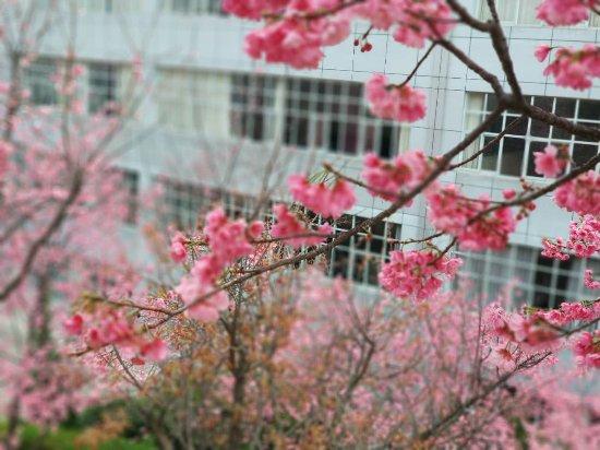 Dali University: 大理学院樱花
