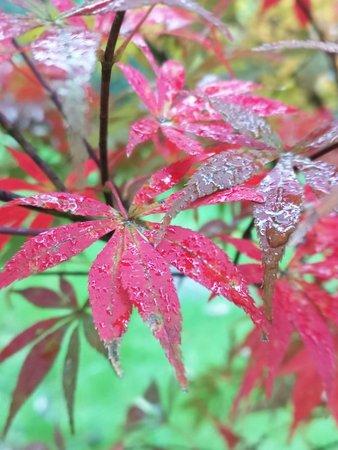 Shifang, China: 什邡红枫岭位于四川省什邡市红白镇,占地300多亩。红叶总共有十多个品种,种植最多的要数中国红枫和北美红枫。叶片大的是北美红枫,也叫加拿大红枫;叶片比较小的是中国红枫,颜色较深一些,颜色更鲜。