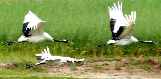 Qianhewan Ecotourism Scenic Spot Hot Spring Resort Hotel: 湿地保护区里边的仙鹤都生长的非常好,每年冬天有几十万候鸟会来此迁徙过冬,蔚为壮观。