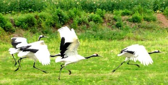 湿地保护区里边的仙鹤都生长的非常好,每年冬天有几十万候鸟会来此迁徙过冬,蔚为壮观。