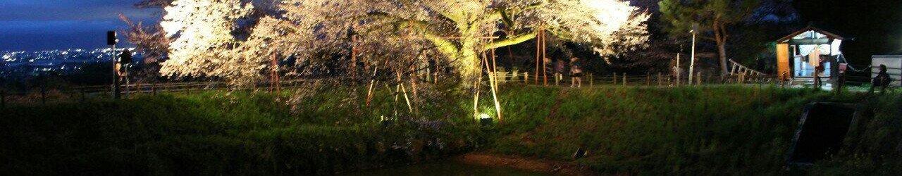 Asai's Cherry Blossom Tree