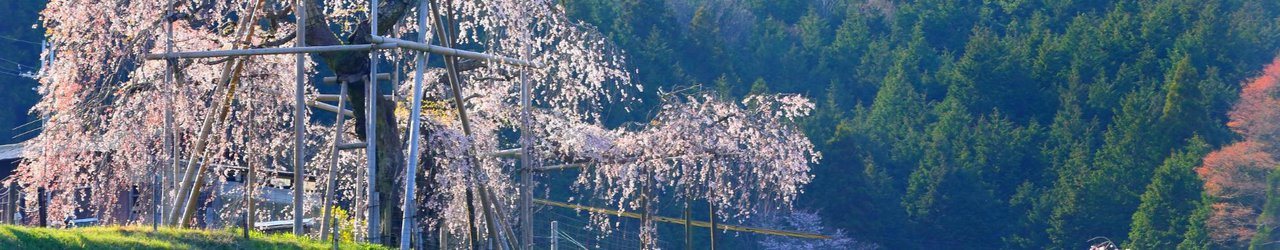 Hata Weeping Cherry Blossom