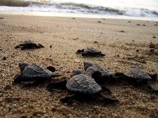 Playa Chila Turtle Camp
