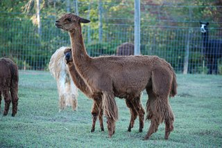 Thunder River Alpacas