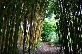 Bambous de Planbuisson