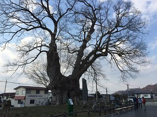 ‪Big Zelkova of Higashine‬