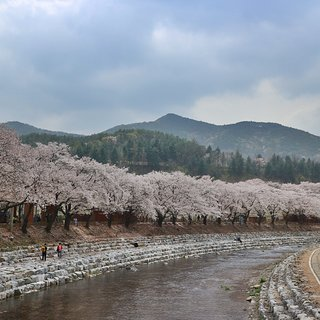 Suanbo Cherry Blossom Road