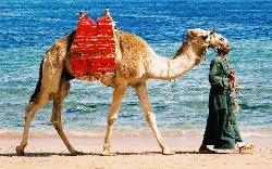 Camel on Beach One (1285044)