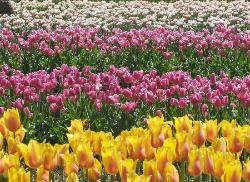 Veldheer Tulip Garden