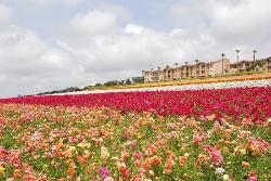 The Flower Fields at Carlsbad RanchR
