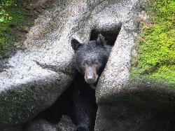 Anan Creek Bear
