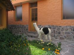 Pet Alpaca to greet guests!!