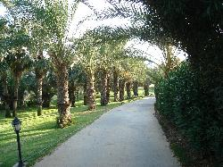 Palm Trees (Path Way)