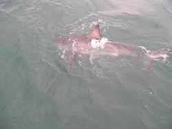 Great White Shark sighted on trip off Gansbaai (2)