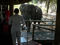 Un éléphant à la salle à manger