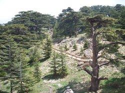 The Cedars of God