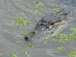Zam's Bayou Swamp Tours