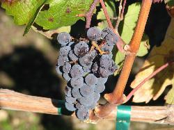 Grape Cluster (18412213)