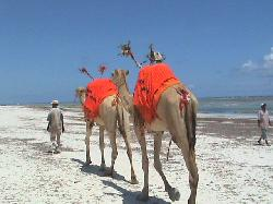 Camel rides, Diani beach! (18572521)