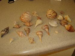 Shells we collected in 1 day!