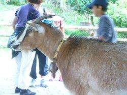 Goats in Haididorf