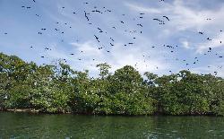 Bird Caye - Frigate Birds