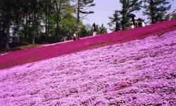 Misato moss phlox Park