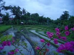 rice fields (20426536)