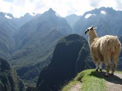 Llama looking into the distance on Machu Picchu. Wonder how they managed to climb up to the top (21154713)