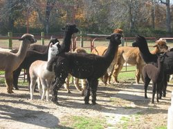 ‪Bay Springs Farm Alpacas‬