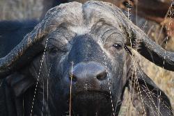 A buffalo!