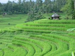 Rice Terraces, Bali, Indonesia (22647133)